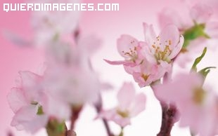 Flor de cerezos