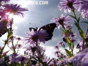 La mariposa de las margaritas