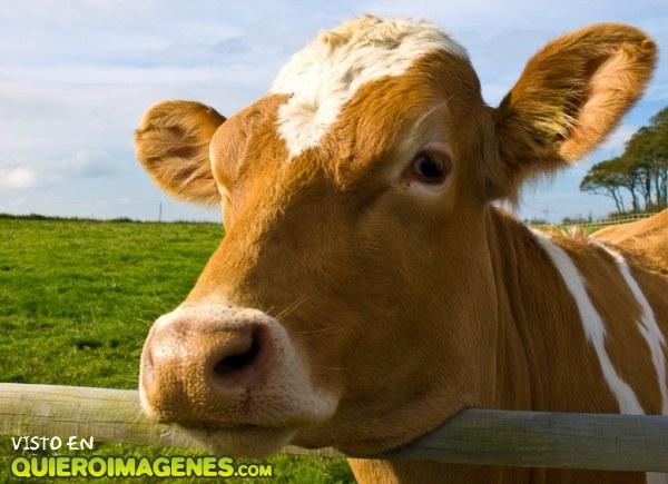Bonita vaca de granja