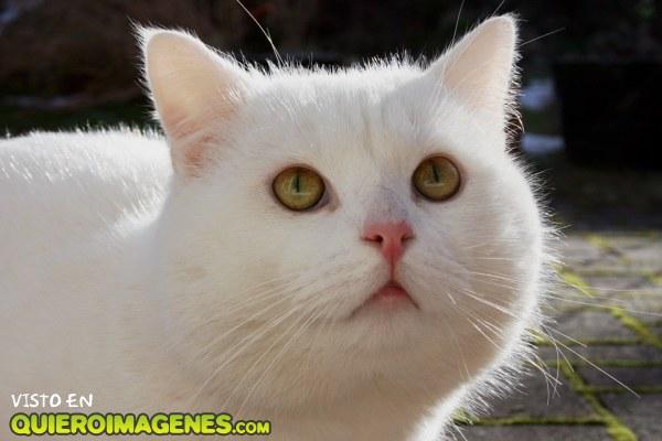 El gatito blanco