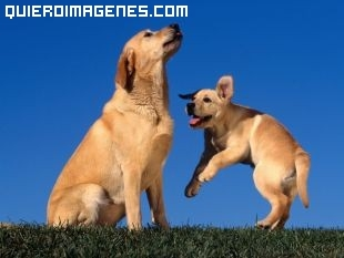 Cachorro de Labarador jugando con mama