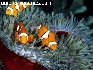 Simpaticos peces payaso