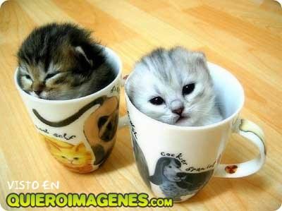 Dos gatitos en tazas