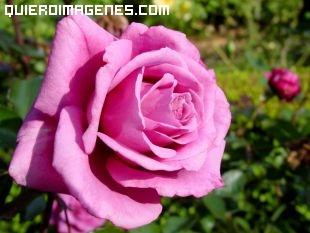 Rosa en Jardín