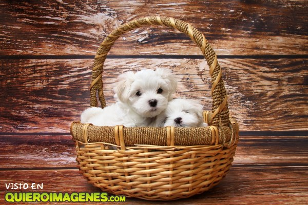 Dos cachorros en una cesta