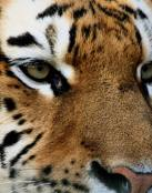 Animales Salvajes Imagen de Tigre