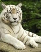 Imagen de tigre blanco