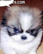 Cachorrito enfadado con el mundo