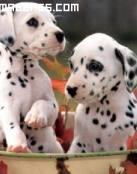 Cachorros de dálmata en maceta