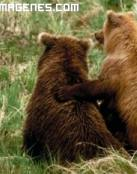 Pareja de osos