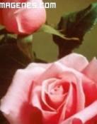 Bonitas rosas