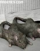 Zapatillas modelo ratas