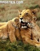 Cachorros de león agradecidos a su madre