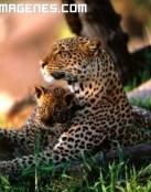 Leopardo con su cría