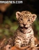 Preciosa cría de jaguar
