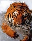 Tigre saltando en el agua