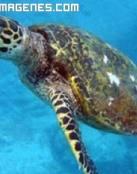 Tortuga del gran arrecife