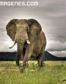 Elefante Salvaje