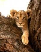 Cachorro de leon en su escondite