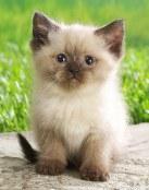 Un gatito siamés