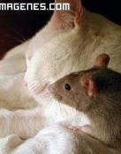 Rata junto a un gato