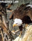 Águila en 2D