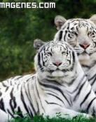 Dos tigres albinos