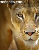 Mirada de leona