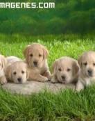 Camada de cinco perros labradores