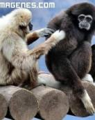 Monos compenetrados