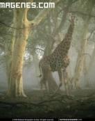 ¿ Una jirafa perdida en el bosque?