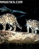 Hermosos leopardos