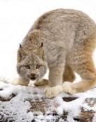 Lince de las Nieves, imágenes de animales