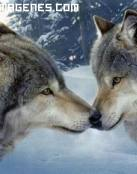 Lealtad entre lobos