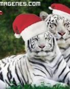 Tigres blancos en Navidad