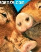 Imagen de amorn de cerdos