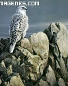 El halcón en las rocas