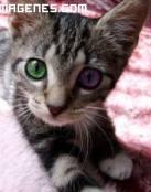 Gatos bicolor