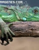 Iguana descansando