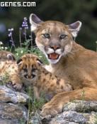 Puma Protectora con crias