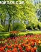 Jardin de Tulipanes