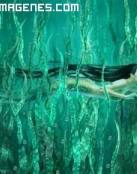 Sirena nadando