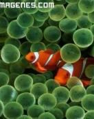 Llamativos peces payaso