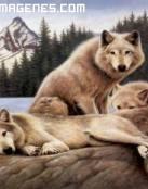 Tres lobos descansan