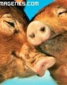 Pareja de cerdos que se aman