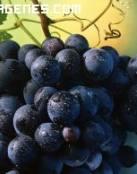 Imagen de ramillete de uvas