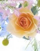 Encantadora rosa