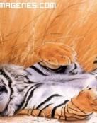 Imagen de tigre relax