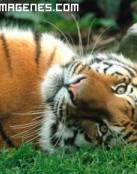 Imagen de tigre tirado