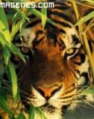 Imagen de tigre al acecho